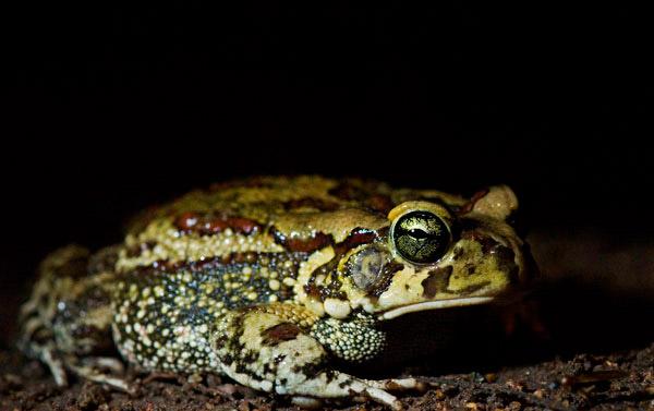 21Feb12-Eastern-Olive-Toad---Wim-Vorster