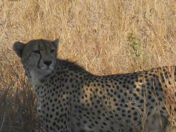 22Jan13---Shannon-Whitehead---cheetah