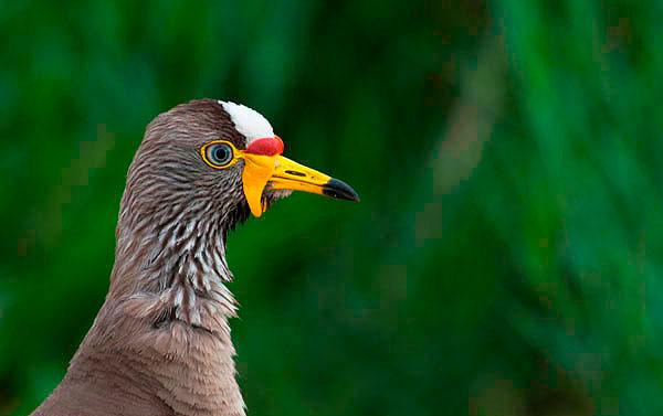 246-TW-African-Wattled-Lapwing---Jaap-van-Dijk1-369