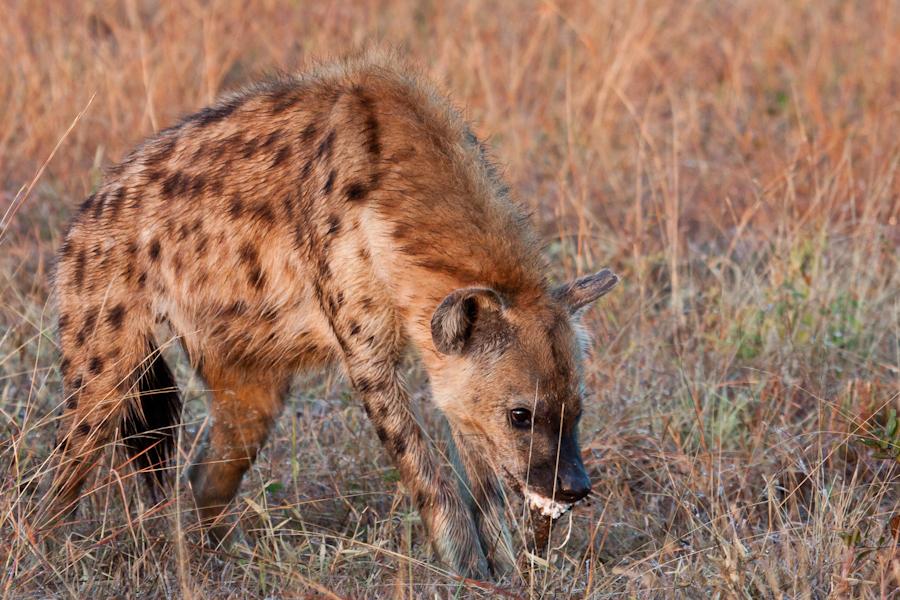 24July2012 - hyena