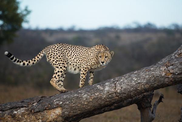 Cheetah-(8)-news