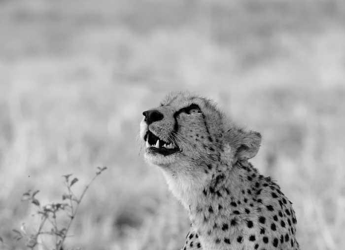 sabi sabi private game reserve study in black and white