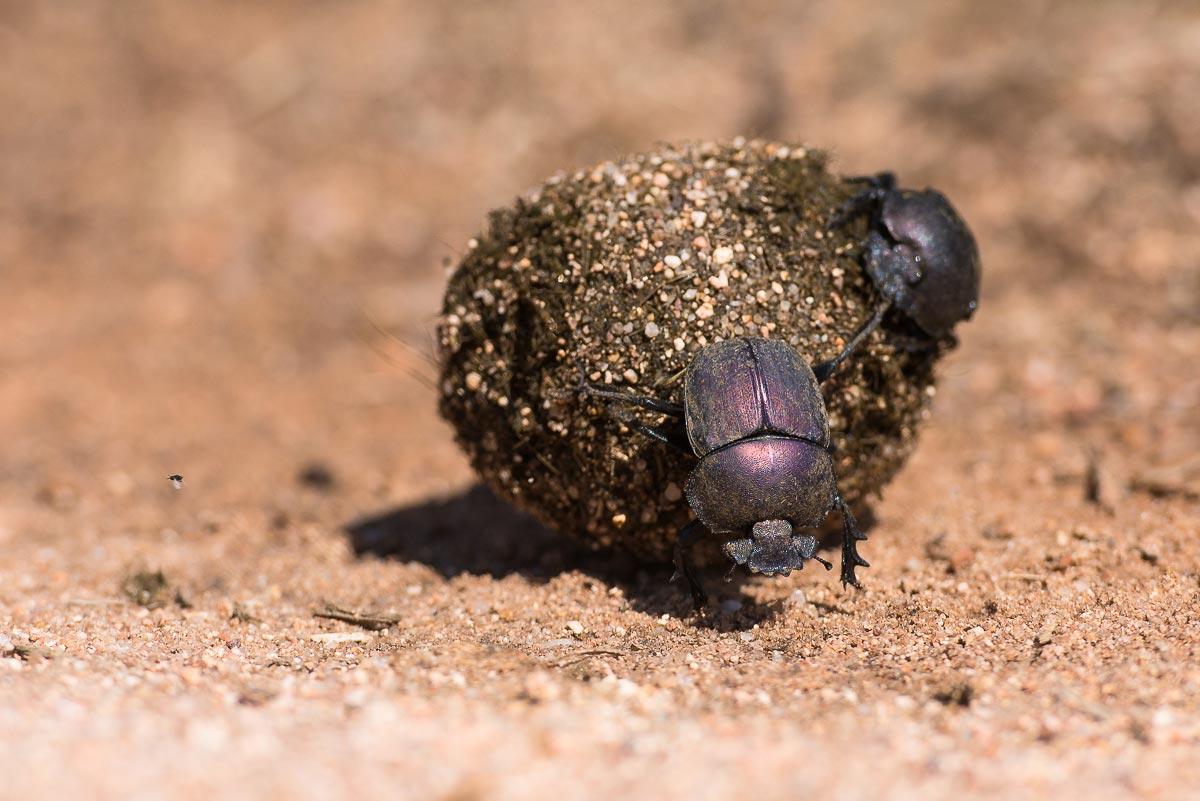 Dung Beetle Derby Spiel - Online spielen auf Y8.com