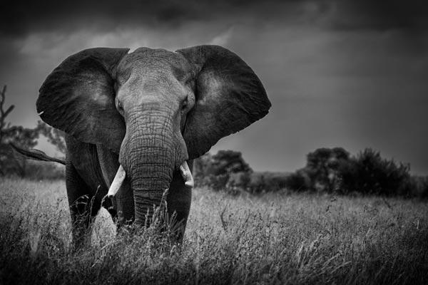 Elephant-Bull-Stareoff