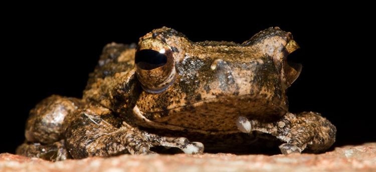 Foam-nest-frog---Darred-Joubert-