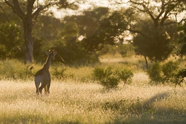 Giraffe-(1)