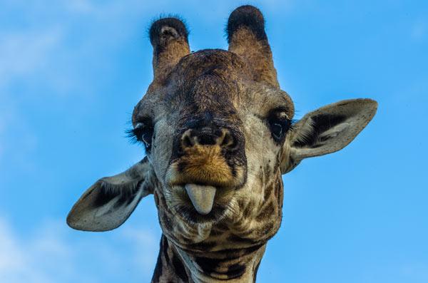 Giraffe-news7