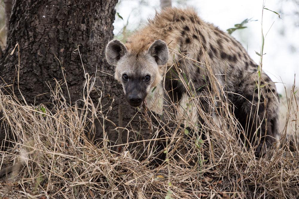 Hyena (1)_1