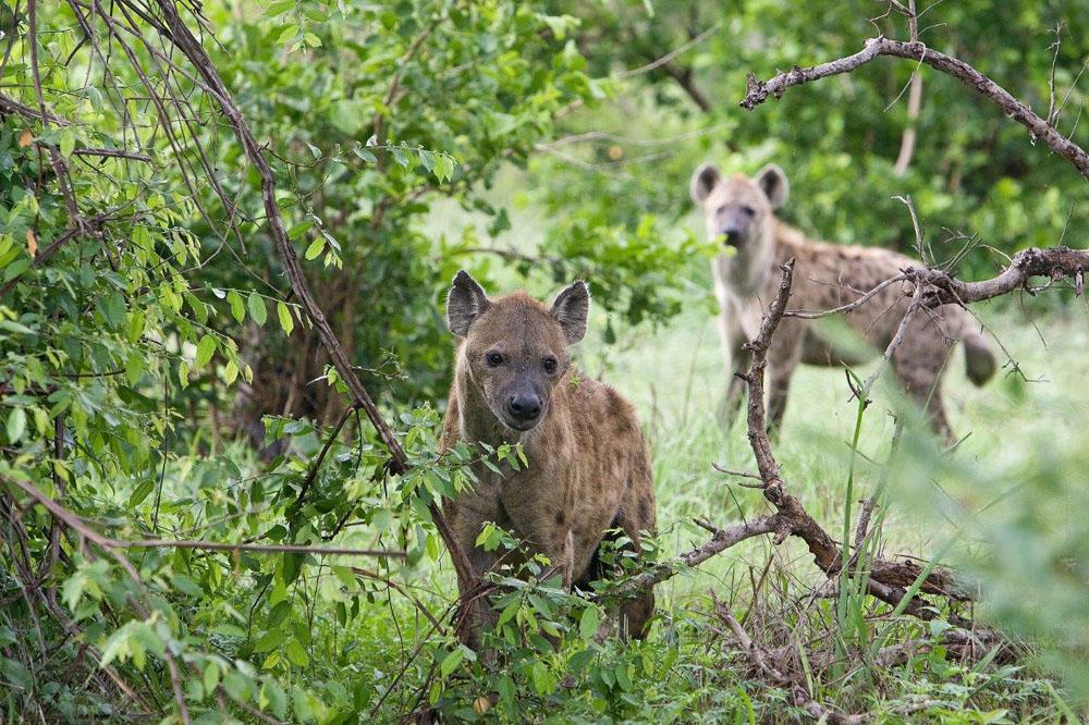 Hyena (3)