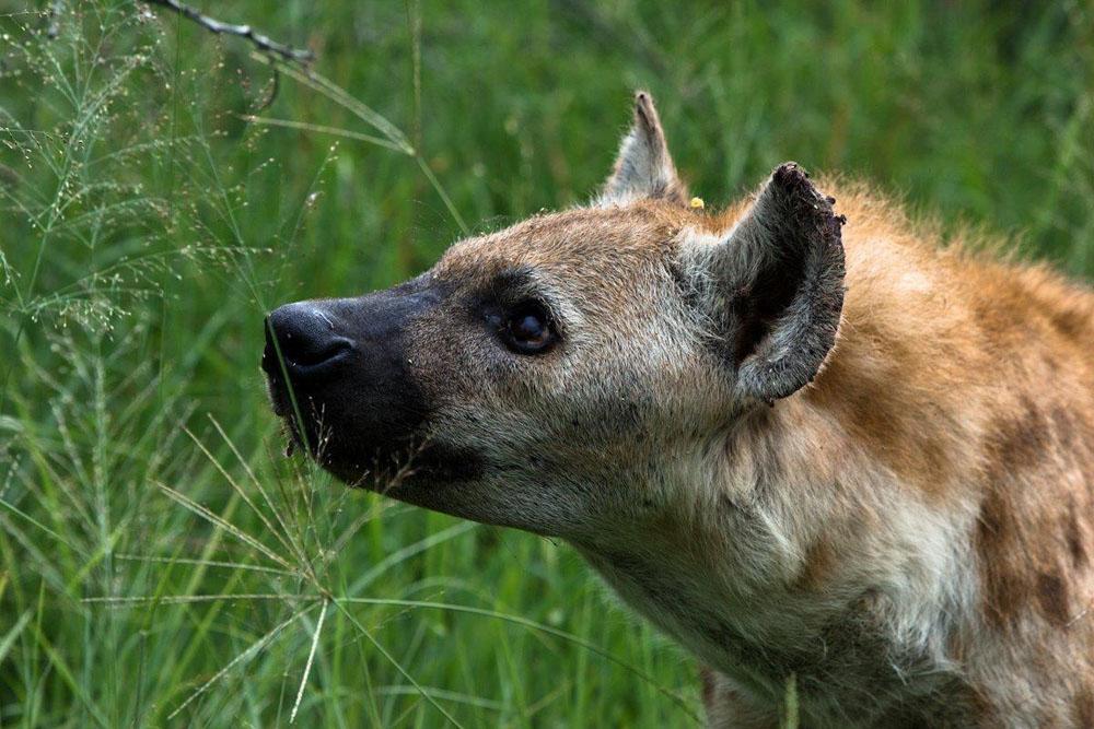 Hyena (4)