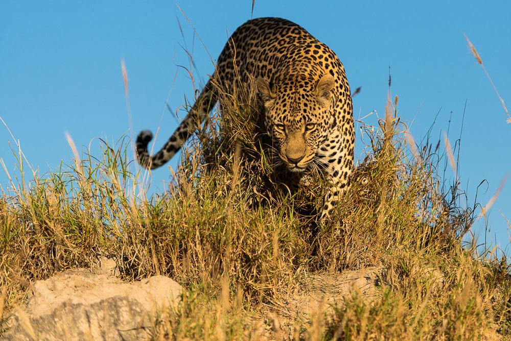Leopard (1)