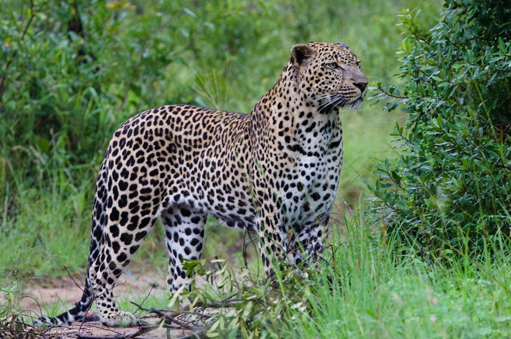 Leopard (20)