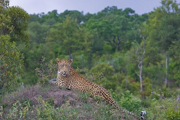 Leopard-(5)