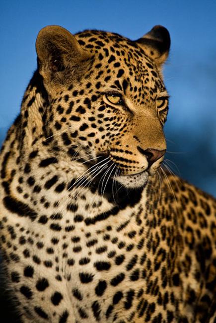 Sabi Sabi Private Game Reserve Leopard Portrait