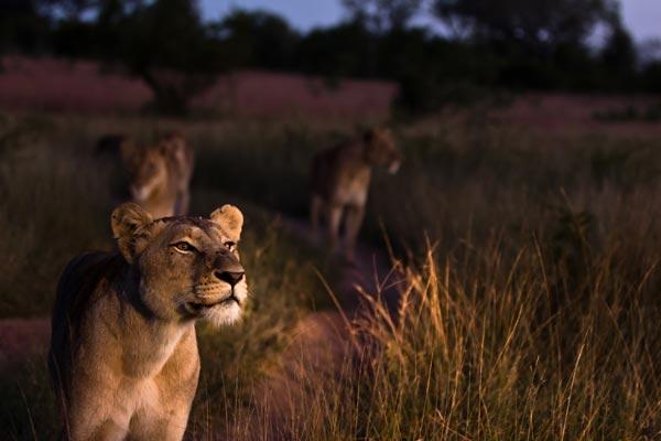 Lion-11-news
