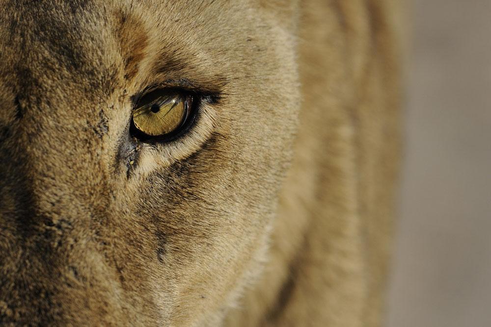Lion (7)_1