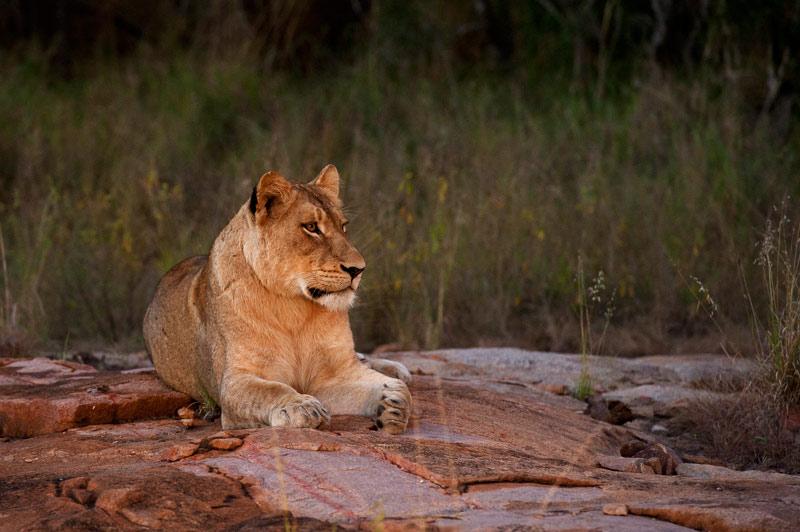 Lioness-on-a-rock-sabi-sabi