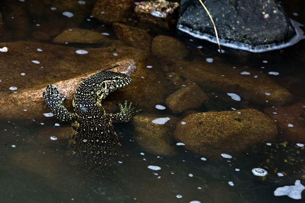 Water-Monitorwild