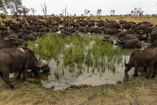 buffalo-herd-(1-of-1)