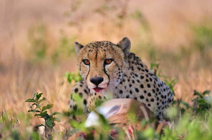 cheetah-kill-big