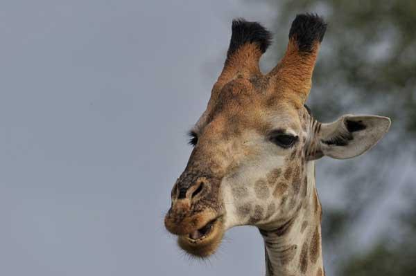 giraffe-head-lrge
