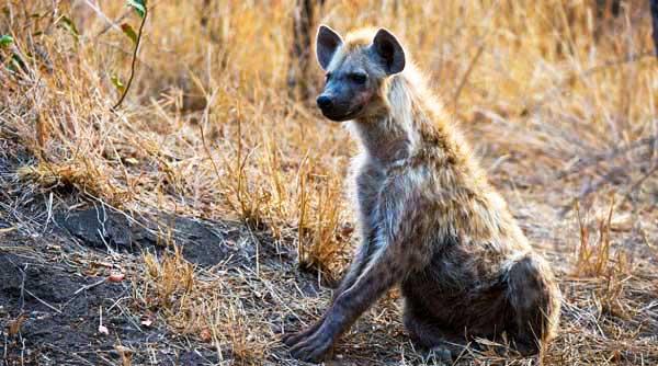 hyena-news5
