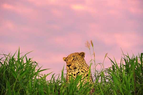 leopard-game-drive-sabi-sabi-newsletter