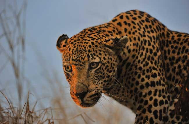 leopard-portrait-lrg