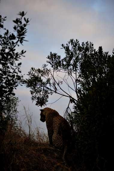 leopard-sil1