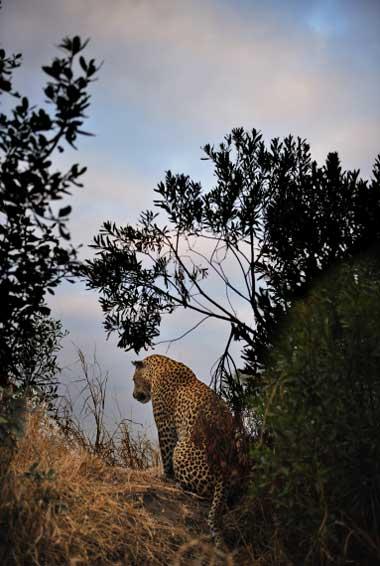 leopard-sil2