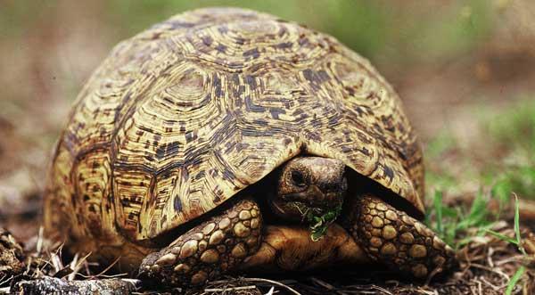 leopard-tortoise-news5