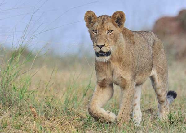 lion-grass-big