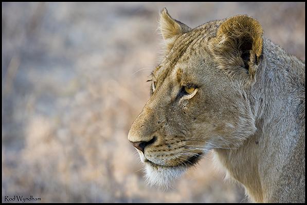 lionessbigph