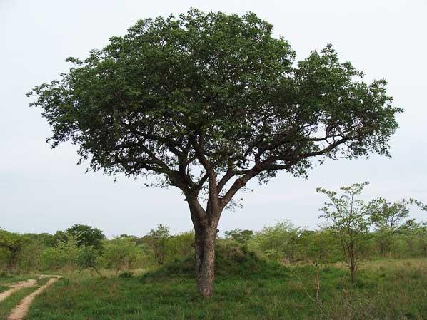 marula-tree-sabi