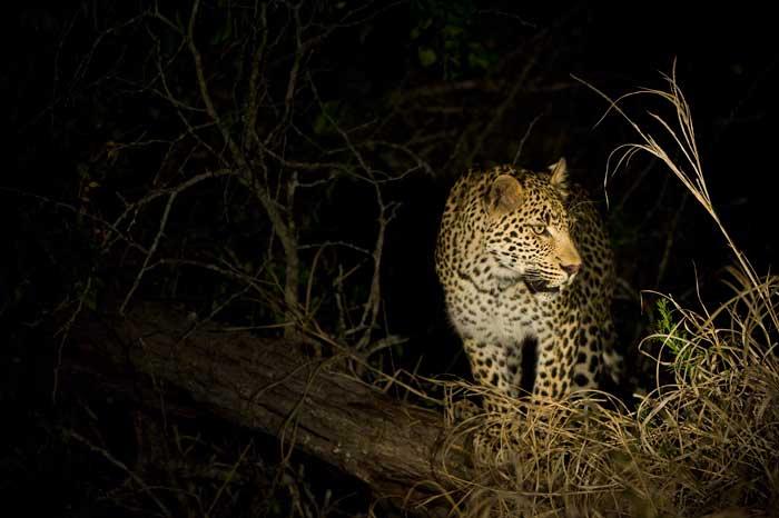 spotlight-leopard-large