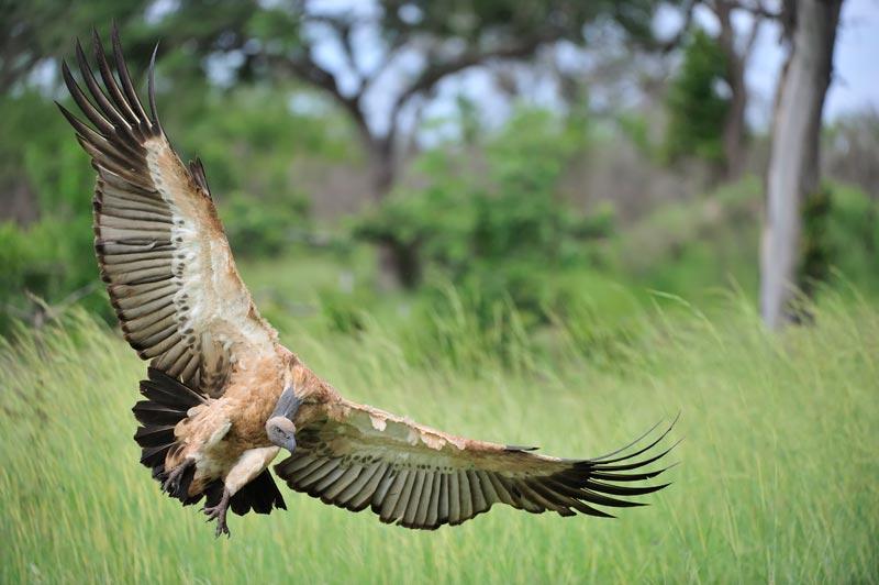 vulture-landing-big