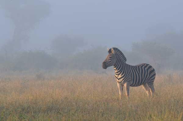 zebra-morning-sabi-sabi