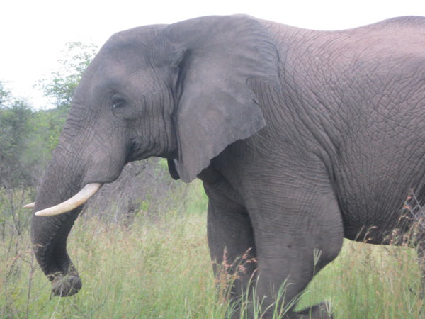 elephant wile on safari