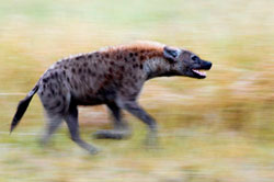 hyena in motion blur at sabi sabi private game reserve