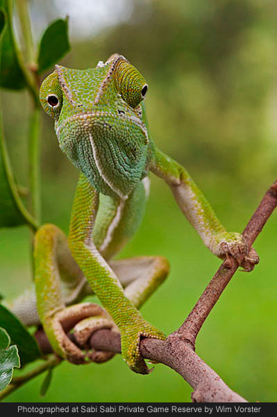 flap neck chameleon