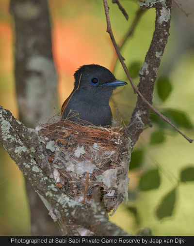 african paradise flycatcher at sabi sabi private game reserve