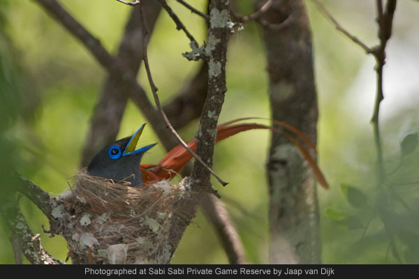 african paradise flycatcher at sabi sabi