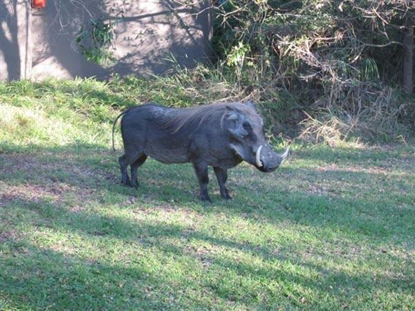 warthog at Sabi Sabi