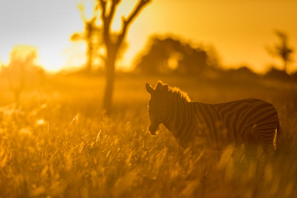 backlit zebra