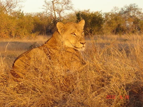 lioness while on safari at Sabi Sabi Private Game Reserve