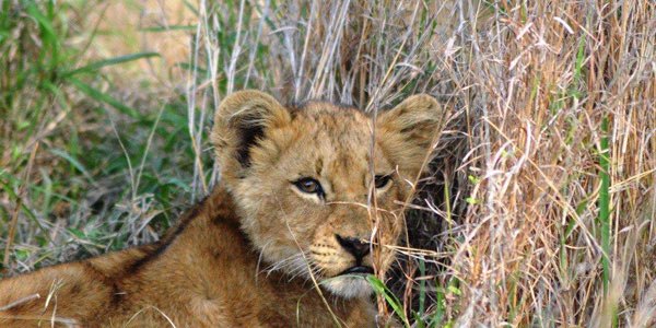 Guests on safari at Sabi Sabi Private Game Reserve see a lion cub