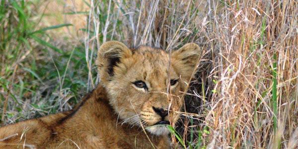 Guests on safari at Sabi Sabi Private Game Reserve see a lion cub
