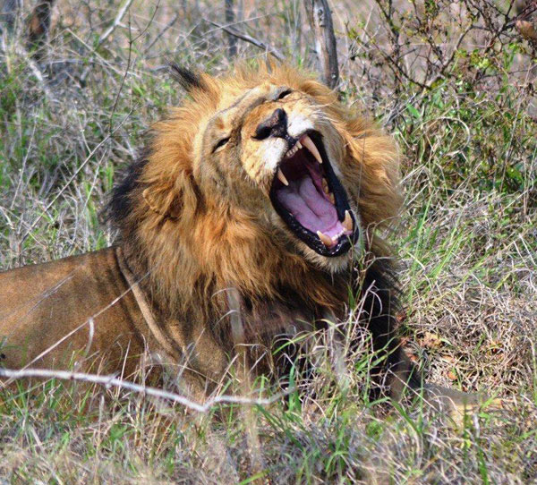 Guests on safari at Sabi Sabi Private Game Reserve see a male lion