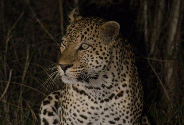 Guests on safari at Sabi Sabi Private Game Reserve see a leopard