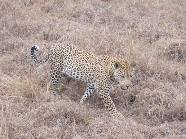 Sabi Sabi Guests on Safari Game Drive with a leopard